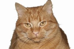 Red cat isolated on white background Royalty Free Stock Images