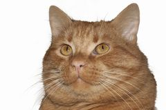 Red cat isolated on white background Royalty Free Stock Photo