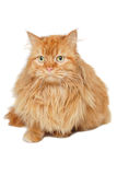Red cat isolated on white background. Royalty Free Stock Image
