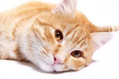 Red cat isolated on white background Stock Photography