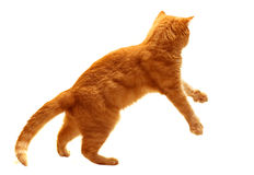 Red cat jump stock image