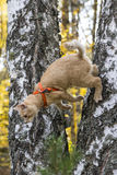 Red cat jumping from a tree. In the autumn forest Royalty Free Stock Photos