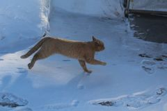 Red cat jumping in the winter. In the cold winter domestic cats walk down the street.They walk down the street in the white snow.Red cat jumping around the yard Royalty Free Stock Images