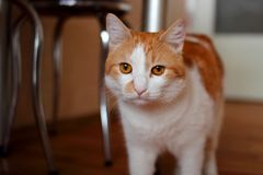 Red cat in the kitchen. Cat walks on the kitchen Royalty Free Stock Photo