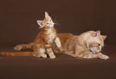 Red Cat and kitten Maine coon. Stock Photo