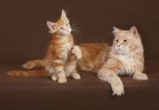 Red Cat and kitten Maine coon. Stock Photos