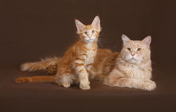 Red Cat and kitten Maine coon. Stock Photography