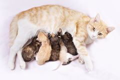 Red cat with kittens Royalty Free Stock Photo