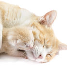 Red cat with kittens Royalty Free Stock Photography