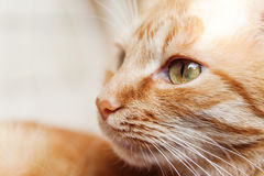 A red cat, a large portrait of the head, squinted in the sun, hi. S eyes were open Stock Photo