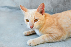 Red cat laying on floor Royalty Free Stock Photography