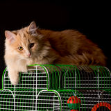 Red cat lays on the cage with a parrot. Royalty Free Stock Photography