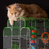Red cat lays on the cage with a parrot. Royalty Free Stock Images