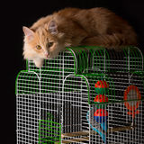 Red cat lays on the cage with a parrot. Royalty Free Stock Image