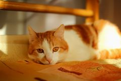 Red cat lazily Royalty Free Stock Photography