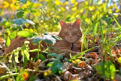 Red cat lies in autumn the grass Stock Image