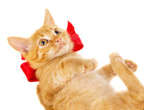Red cat lies on the floor in the red ribbon Stock Image