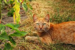 A red cat is lying on the garden path. royalty free stock image