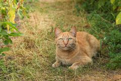 A red cat is lying on the garden path. Stock Photo