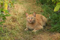 A red cat is lying on the garden path. Royalty Free Stock Photo