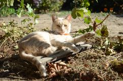 The red cat lies on leaves of grapes Royalty Free Stock Images