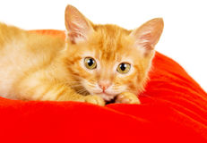 Red cat lies on a pillow Stock Image