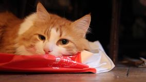 Red cat lies in relaxation stock video