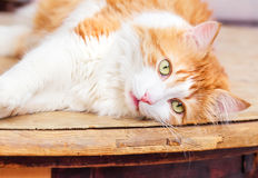 Red cat lies in relaxation Royalty Free Stock Images