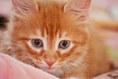 Red cat. Little red cat laying in bed Stock Photography