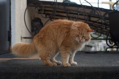 Red cat. Long haired red cat goes on cat affairs, outdoor cat, red tabby longhair furry cat stock images