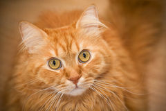 Red cat. Looking into the camera Royalty Free Stock Photos