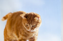 Red cat looking down Royalty Free Stock Photography