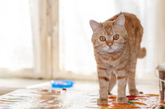 Red cat is looking right Royalty Free Stock Photography