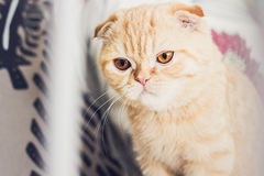 Red cat looking skeptical. Red scottishfold cat with brown eyes looking skeptic Stock Photos