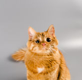 Red cat looking starring in the camera surprised Stock Photography