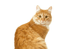 Red cat looking surprised. Red cat looking starring in the camera surprised Royalty Free Stock Image