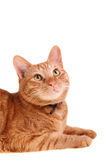 Red cat looking up Stock Photography