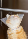 Red cat looking up, wearing a Elizabethan collar. Red cat looking up, wearing a transparent plastic Elizabethan collar Stock Image