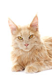 Red cat looking Royalty Free Stock Image