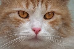 Red cat looks ahead close up. Outdoor Royalty Free Stock Image
