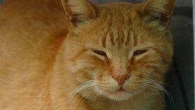Red Cat Looks Away stock video