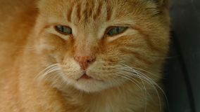 Red cat looks away stock footage