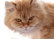 Red cat looks carefully Stock Photos