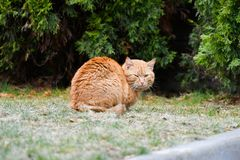 Red cat looks at me. Beautiful red cat on the street. Outdoor animal portrait royalty free stock images