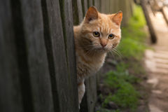 Red cat looks out from behind a fence. summer sun Photo pet. Beautiful with Yellow Eyes stock photography