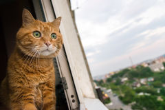 Red cat looks out the window. Stock Image