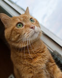 Red cat looks out the window. Royalty Free Stock Image