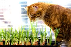 The red cat looks and sniffs the green onions of the young. In lighted window sill royalty free stock photos