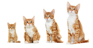 Red cat looks. At a white background Royalty Free Stock Image