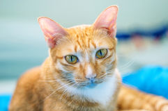 Red cat. Lovely red cat, soft focus royalty free stock photo